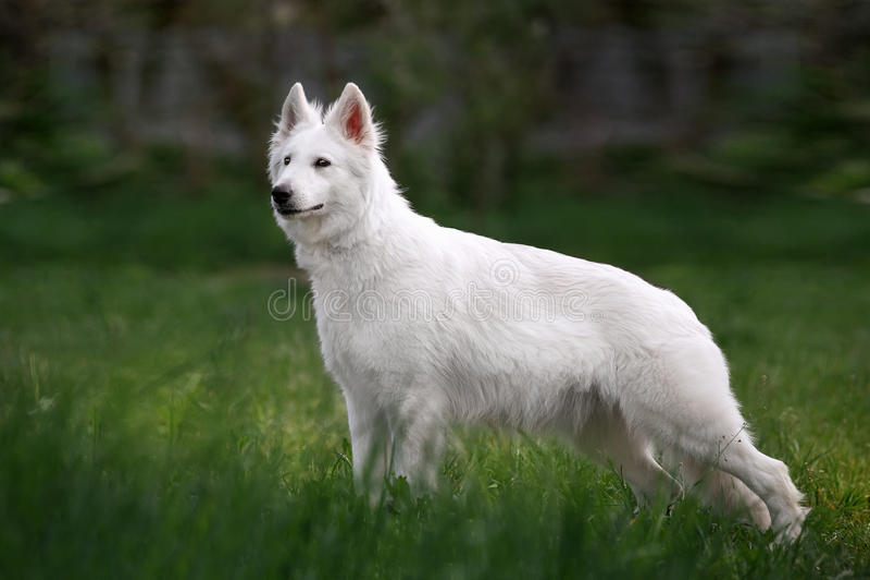 Vit schweizisk herdehund som står främst yttersida i det högväxta gräset på den neutrala suddiga bakgrunden arkivfoto
