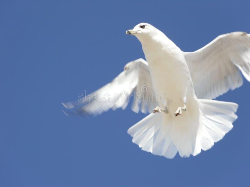 Vit Seagull mot blå himmel royaltyfria bilder