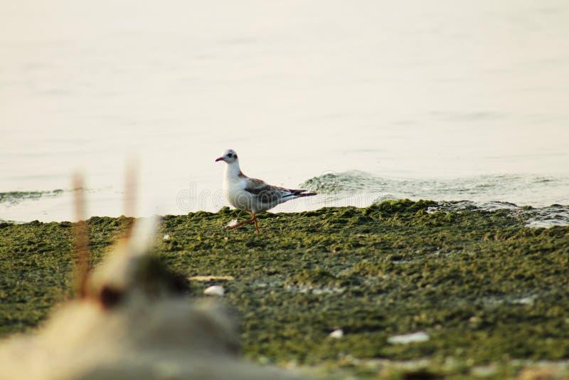 Vit seagull på stranden nära havet fotografering för bildbyråer