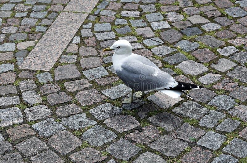 Vit seagull som går på trottoaren royaltyfri bild