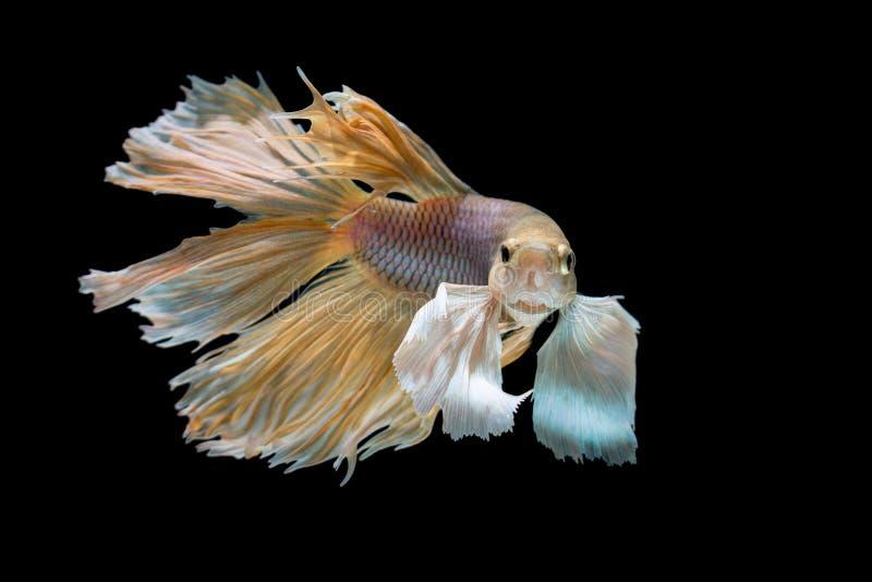 Vit siamese stridighet för guling och fiskar, bettafisken som isoleras på svart royaltyfria bilder