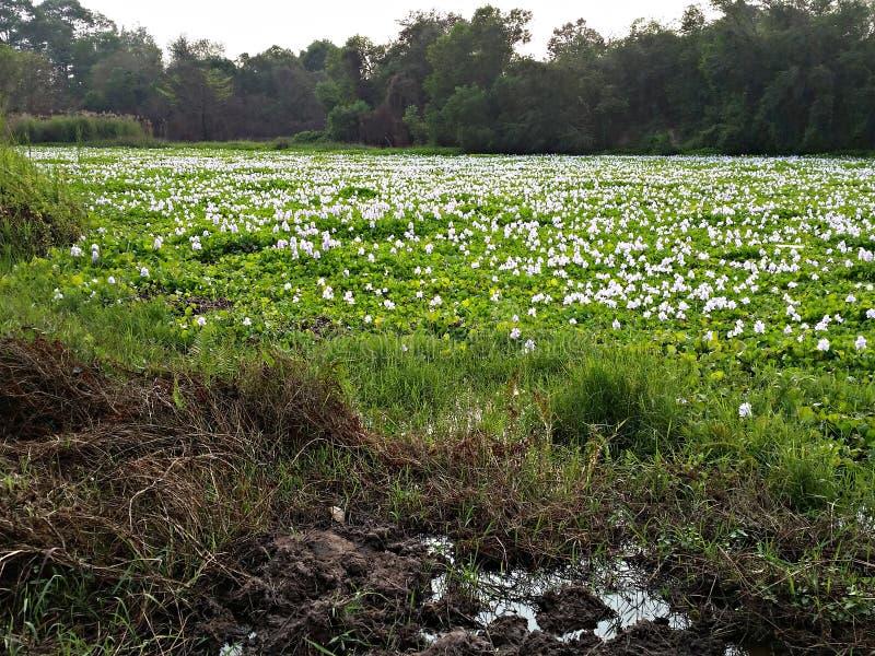 Vit skog för landskap för hyacintgräsplanträsk royaltyfri foto