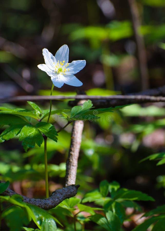 Vit skogvildblomma för Wood anemon - 02 arkivbilder