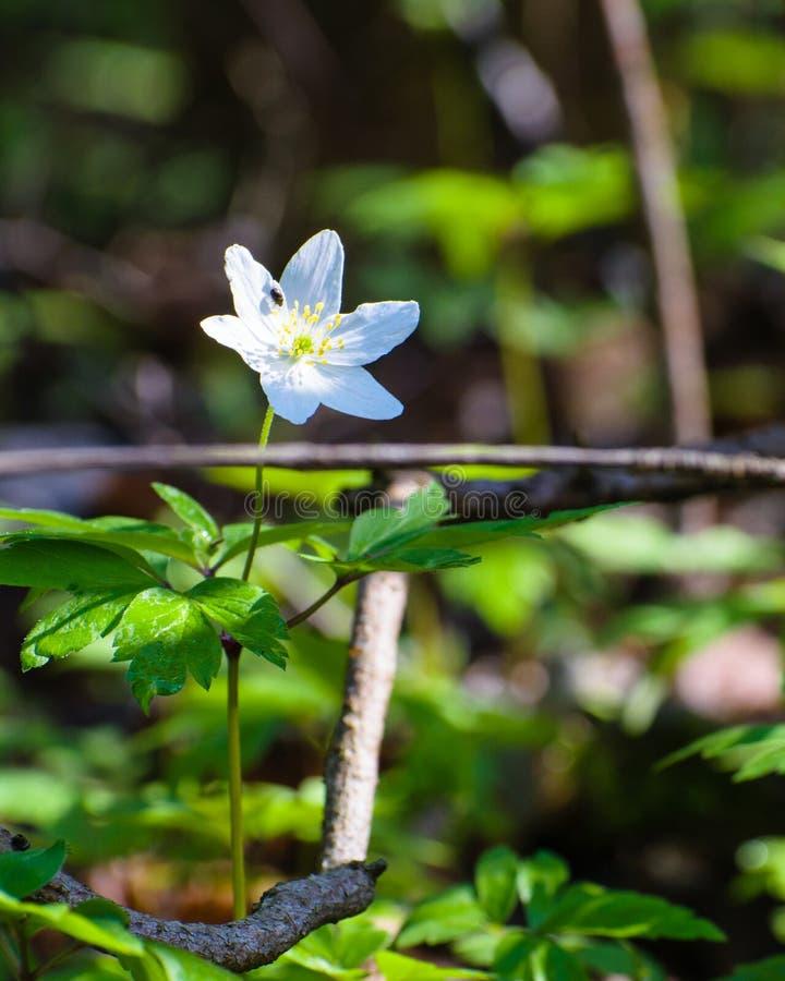 Vit skogvildblomma för Wood anemon och skalbagge arkivfoton