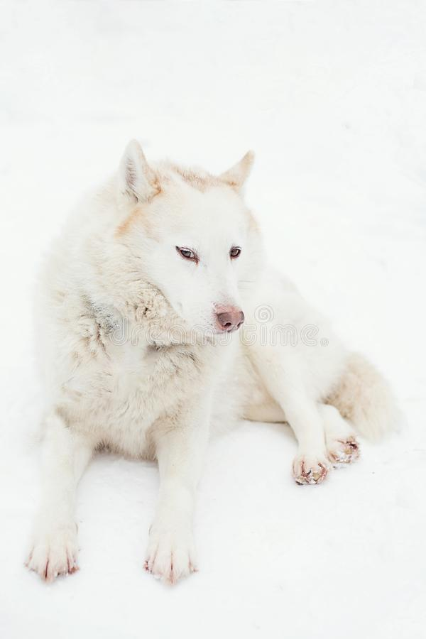 Vit skrovlig hund som ligger på snön royaltyfri foto