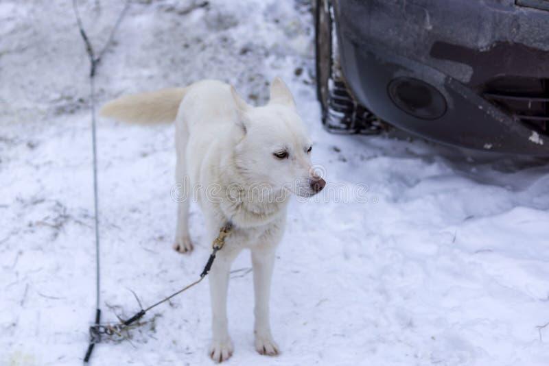 Vit slädehund som oroas på koppeln för loppet arkivbild
