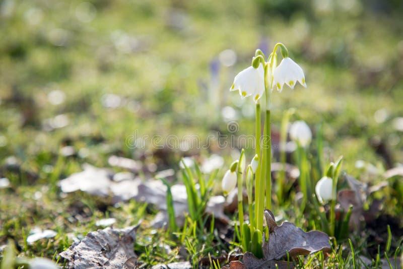 Vit snödroppeGalanthus Nivalis blomma i solsken av vintervårträdgården royaltyfri foto