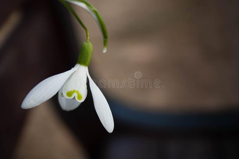 Vit snowbellcloseup på suddig grå bakgrund, tomt utrymme, klart enkelhetsvårlynne fotografering för bildbyråer