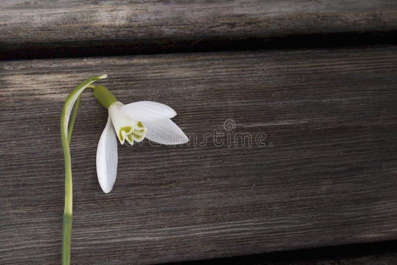 Vit snowbellcloseup på trägrå bakgrund, tomt utrymme, klart enkelhetsvårlynne arkivbilder