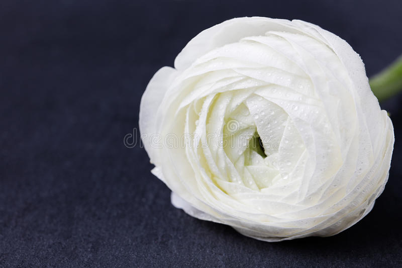 Vit som svävar blommor bakgrundsblack kritiserar arkivbild