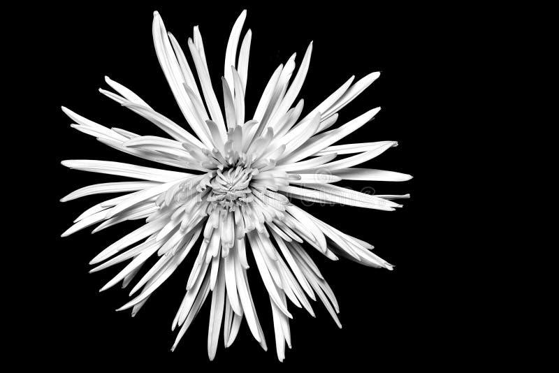 Vit spindelMumblomma på svart bakgrund royaltyfria foton