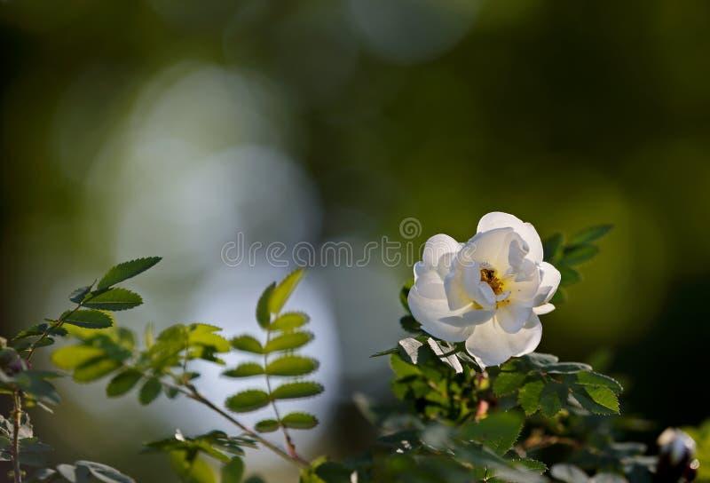 Vit steg blomma i skuggor royaltyfri fotografi