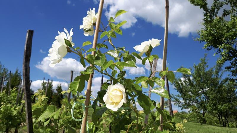 Vit steg blommor i vinrankatr?dg?rden arkivbilder