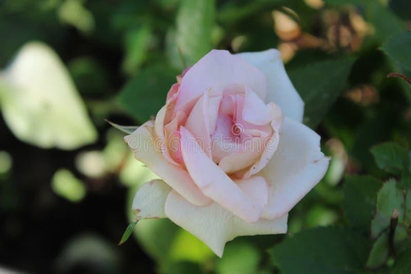 Vit steg rosa toner upp nära c fotografering för bildbyråer