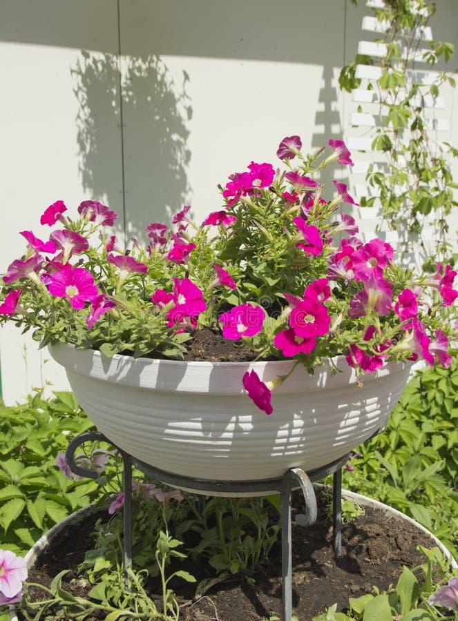 Vit stenar blomsterrabatten med att blomma petunior royaltyfria foton