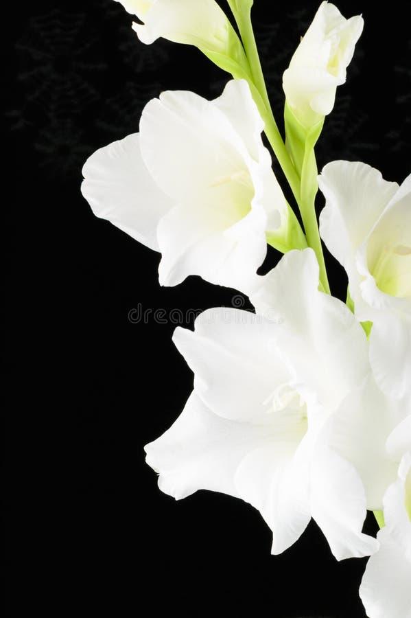 Vit stor blommig bakgrund för gladiolusblommasvart arkivfoto