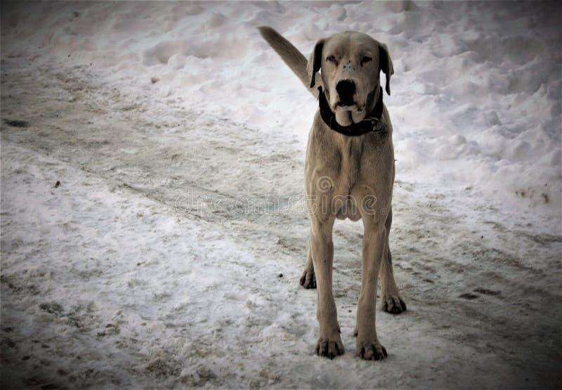 Vit stor hund arkivbild