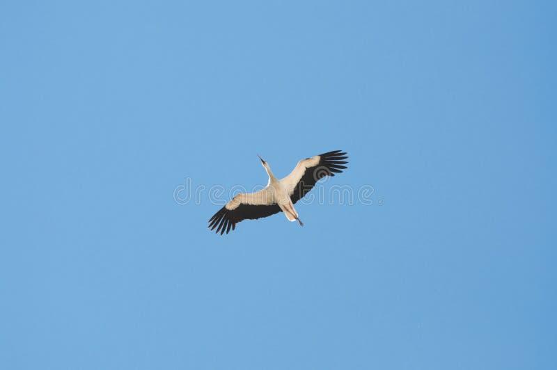 Vit stork, Cicconia cicconia arkivbild