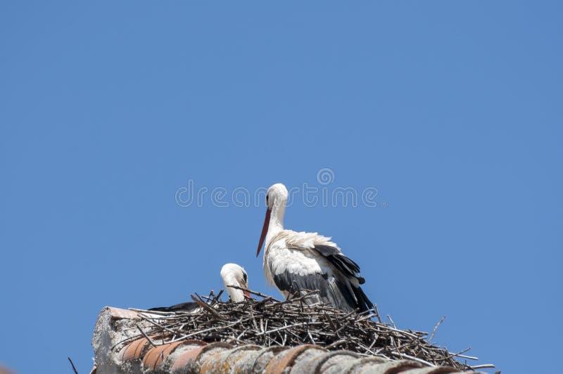 Vit stork, Ciconiaciconia arkivfoto