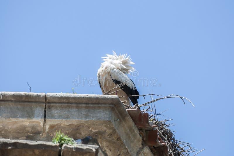 Vit stork, Ciconiaciconia royaltyfri bild
