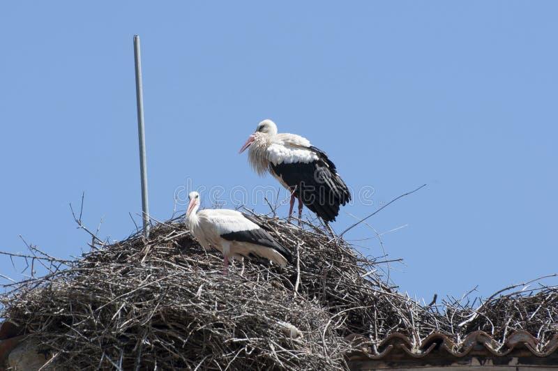 Vit stork, Ciconiaciconia arkivbilder