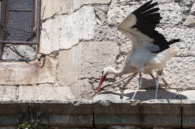 Vit stork, Ciconiaciconia royaltyfria foton