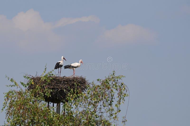 Vit stork för fågel royaltyfri foto