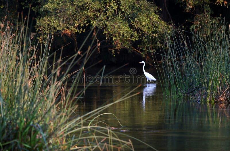 Vit stork i floden royaltyfria foton