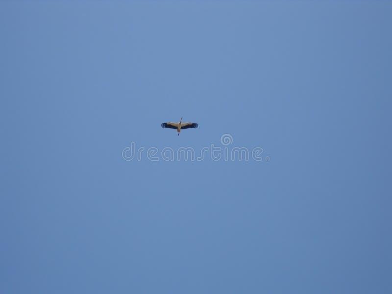 Vit stork i himlen royaltyfri bild