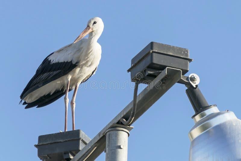 Vit stork på en lyktstolpe fotografering för bildbyråer