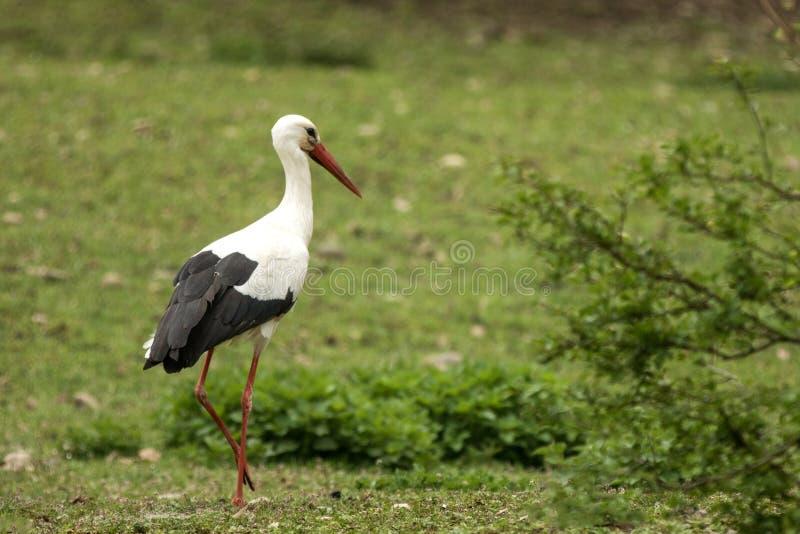 Vit stork p? ?ngen som s?ker f?r maten, gr?n vegetation i bakgrund, plats fr?n djurliv, Tyskland, gemensam f?gel i dess fotografering för bildbyråer