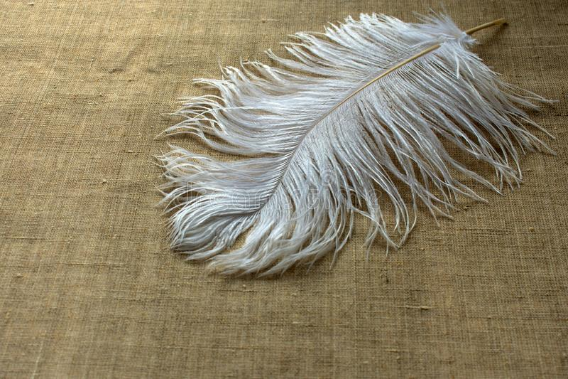 Vit strutsfjäder på linneborddukar royaltyfri bild