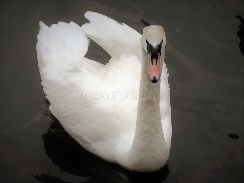 Vit svan i den storslagna unionkanalen arkivfoton