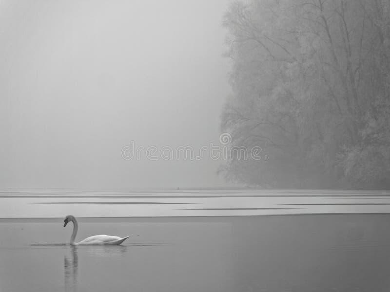 Vit svan i frostigt sjölandskap fotografering för bildbyråer
