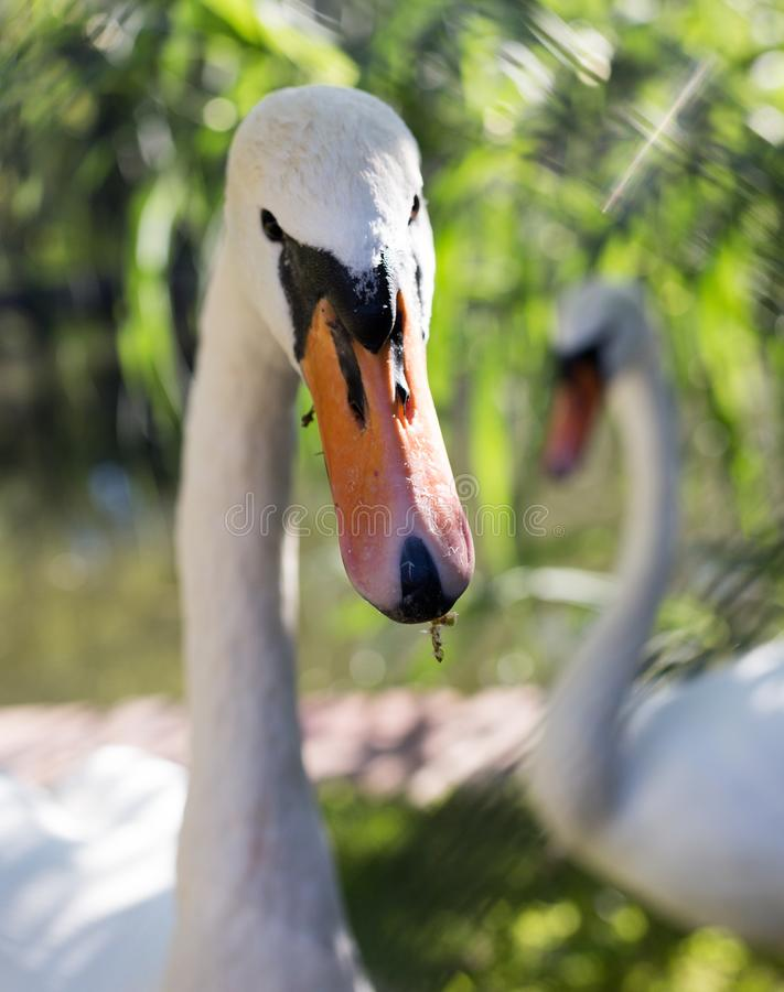 Vit svan i zoo royaltyfri fotografi