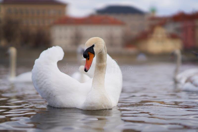 Vit svan och floden royaltyfri bild