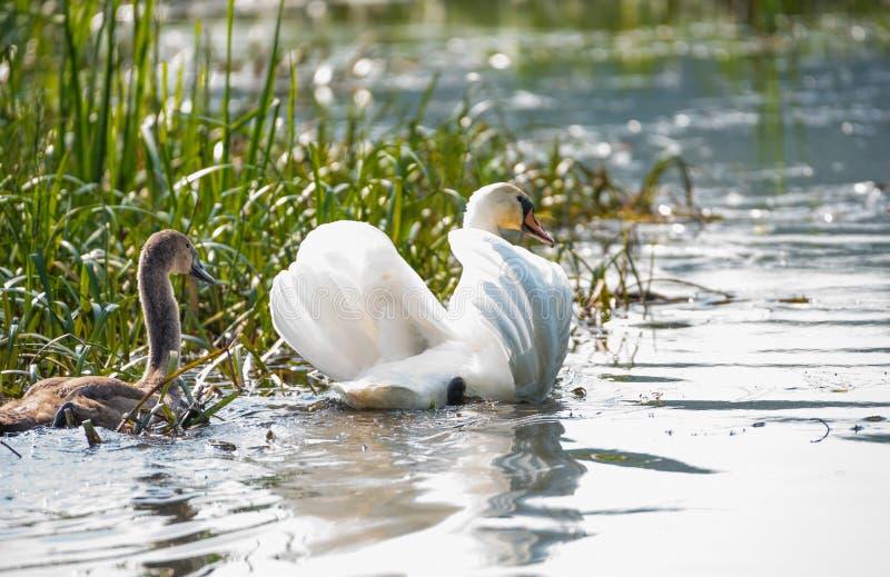 Vit svan- och grå färgfågelsimning på sjön royaltyfria bilder