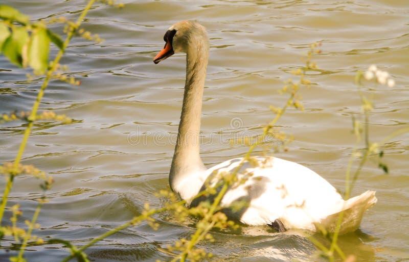 Vit svan på det gröna vattnet av en sjö, profil av stor simning för vatten- fågel, bakgrund av det lösa djuret royaltyfria bilder