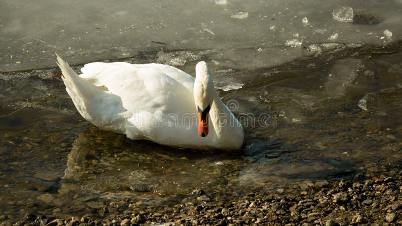 Vit svan på djupfryst sjödricksvatten II royaltyfri bild