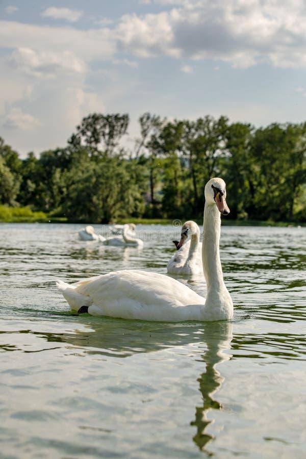 Vit svan på sjön Constance royaltyfria foton