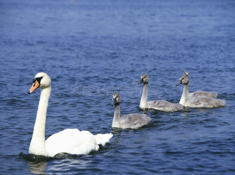 Vit svan på sjön med fyra unga svanar royaltyfri foto