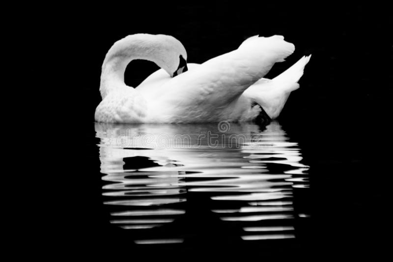 Vit svan som ansar sig royaltyfri bild