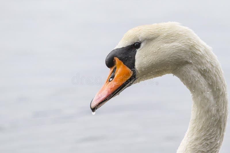 Vit svan som göras genomvåt i vatten royaltyfria foton