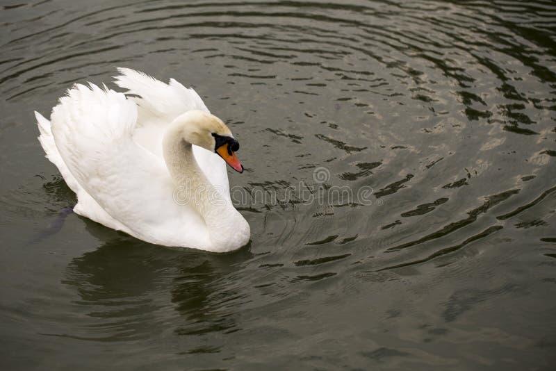 Vit svan som simmar royaltyfri fotografi