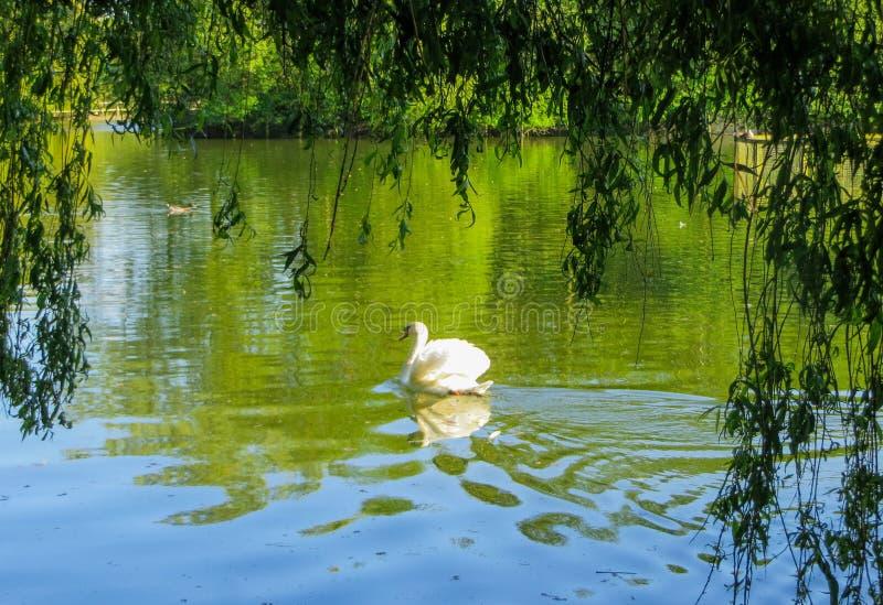 Vit svan som svävar på grönt vatten under pilfilialer royaltyfri fotografi