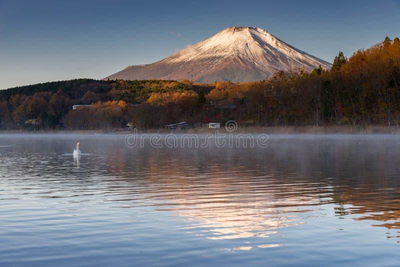 Vit svan som svävar på sjön med berget Fuji i bakgrund på den yamanaka sjön, royaltyfri bild