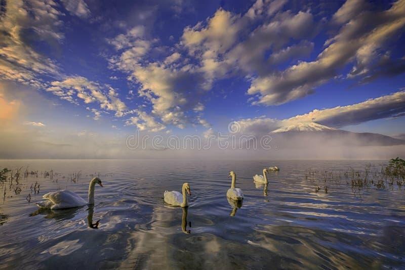 Vit svan under Mount Fuji i höst arkivbild