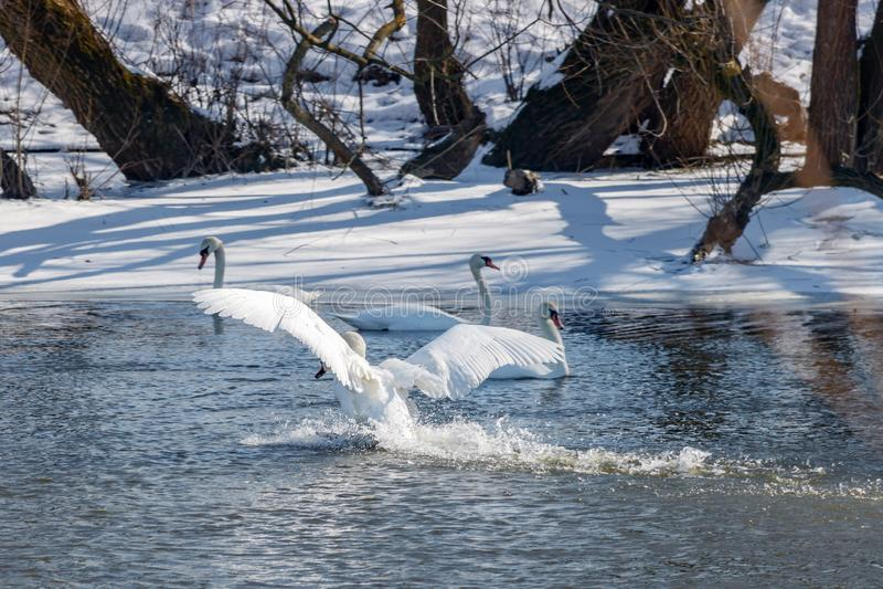 Vit svanlandning på vattenyttersidan av floden mot snö täckte kusten fotografering för bildbyråer