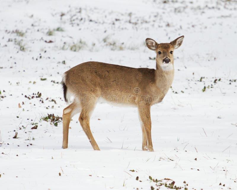 Vit-svans hjortar i snön arkivbilder