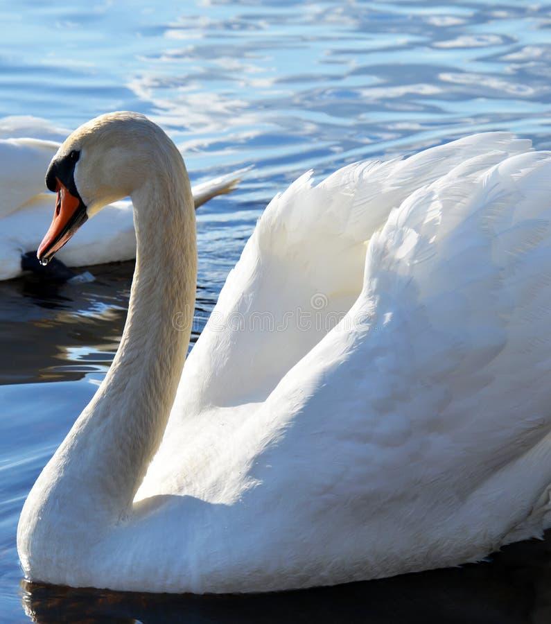Vit swan arkivfoto